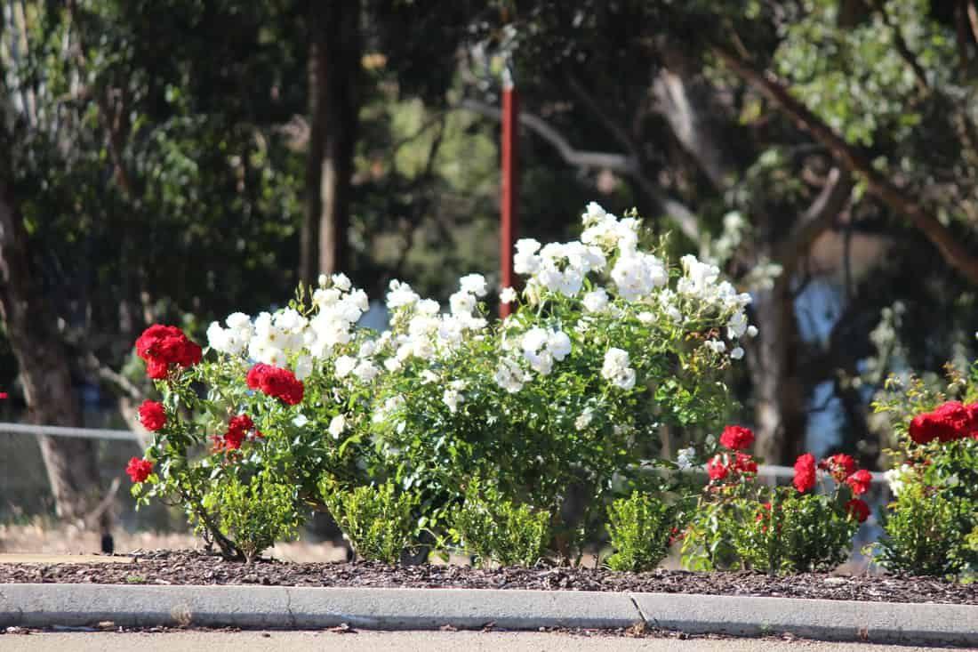 garden-landscaper-armadale-roses_orig
